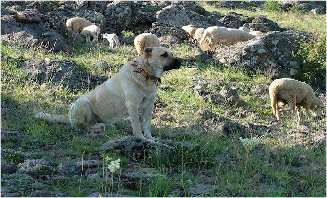 kangal köpeği kurt