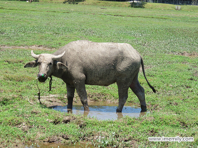 Water buffalo at The Gemalai Village
