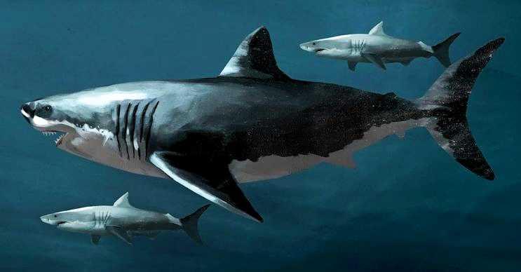 Megalodon köpek balığı, büyük beyaz köpek balığına oldukça benzemektedir.