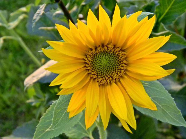 słonecznik, kwiat ozdobny, roślina, ogród