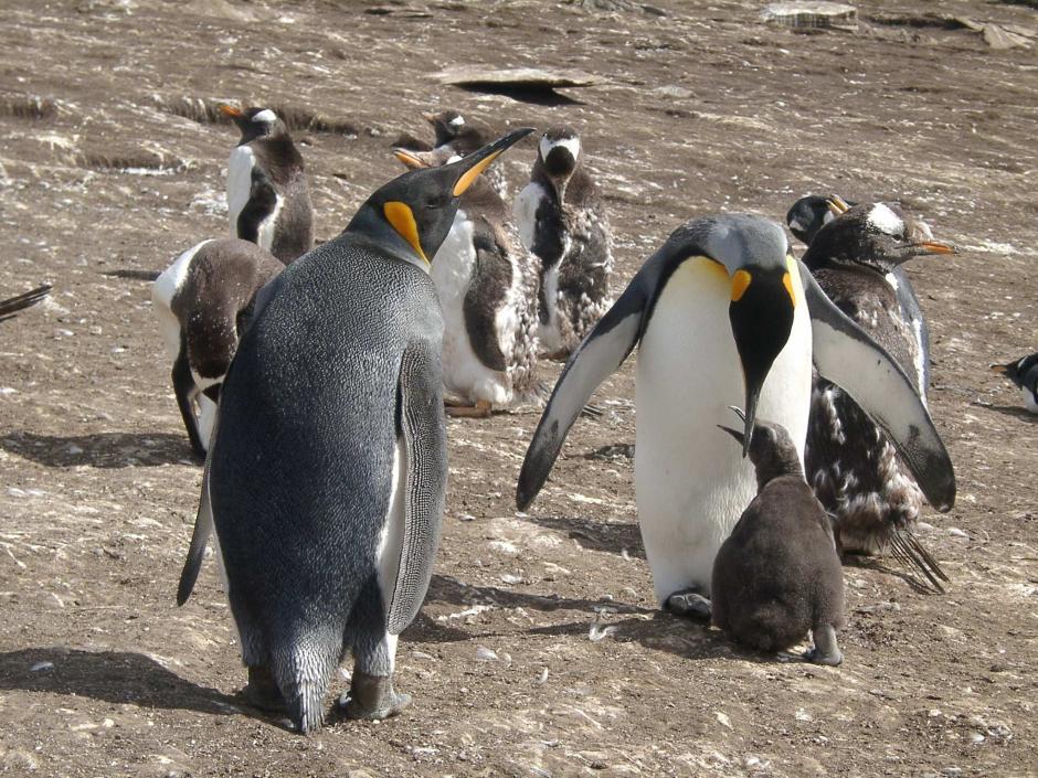 gentoo penguin gentoo penguin the biggest animals kingdom