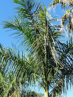 Roystonea borinquena - Palmier royal de Porto-Rico