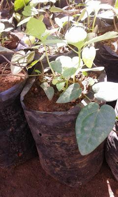 bibit kemukus unggul bibit-bibit rempah unggul budidaya tanaman kemukus jual bibit kemukus bibit kemukus murah cara menanam kemukus perawatan tanaman kemukus manfaat kemukus
