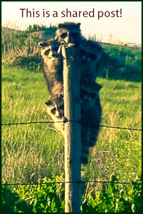 These Raccoons really like that post and would like to share it with you! #funny #animals #adorable #raccoons