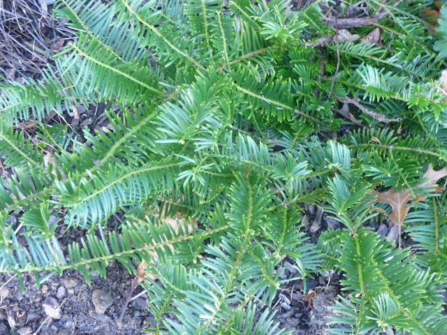 Cephalotaxus harringtonia 'Prostrata', Japanese plum yew