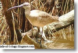 Whimbrel (Numenius phaeopus) Birds of Tobago
