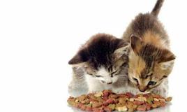 Kenapa Kucing Rakus? Selalu Lapar? Ini Jawabannya!