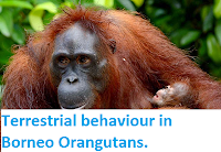 http://sciencythoughts.blogspot.co.uk/2015/03/terrestrial-behaviour-in-borneo.html