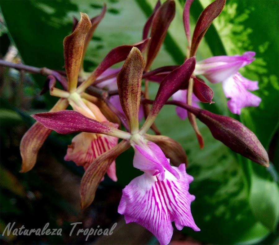 Foto de las flores de la Orquídea de Chocolate, Encyclia phoenicia