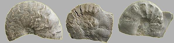 Fossilien-Ammoniten
