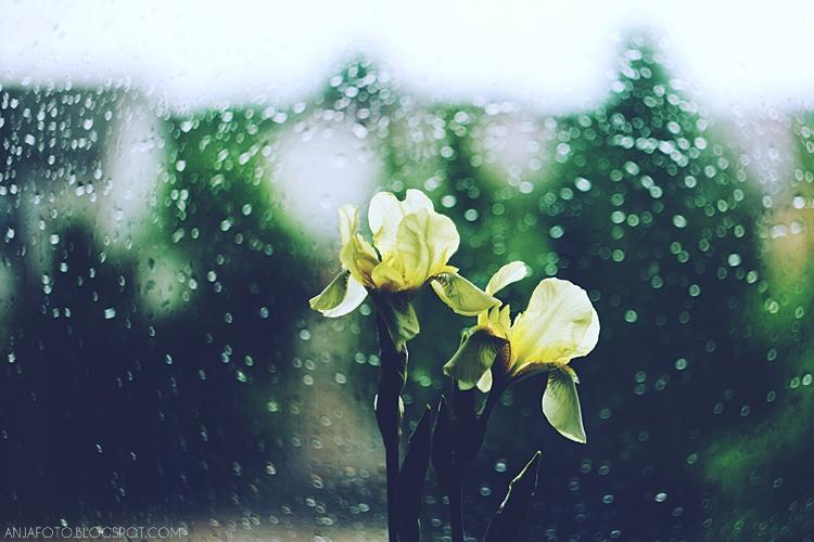 kwiaty, irys, irysy, żółte irysy, bokeh, canon 50 1.4