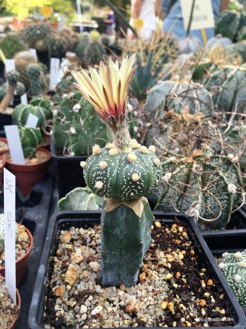 Astrophytum asterias injertado sobre Myrtillocactus feometrizans