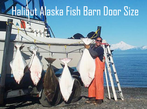 Halibut Alaska Fish Barn Door Size Baca Artikel