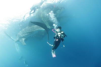 Whale Shark dibawah Bagan di Teluk Cendrawasih