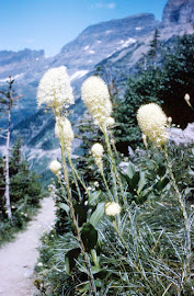 Bear Grass in Glacier National Park