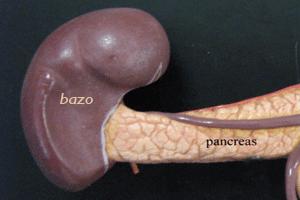 El bazo, localizado junto a un extremo del páncreas