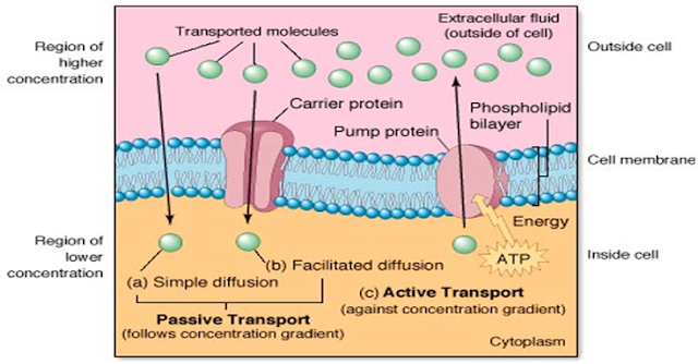 Difusi terfasilitasi terjadi pada membran sel