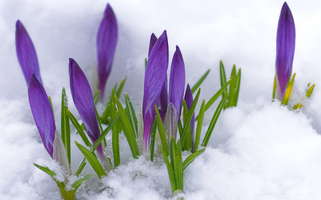 Foto paarse krokussen in de sneeuw tijdens de lente