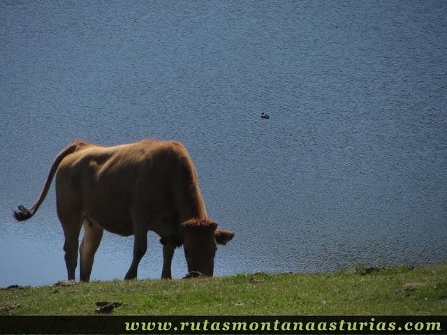 Ruta Lagos de Covadonga PR PNPE-2: Lago Ercina vaca y pato