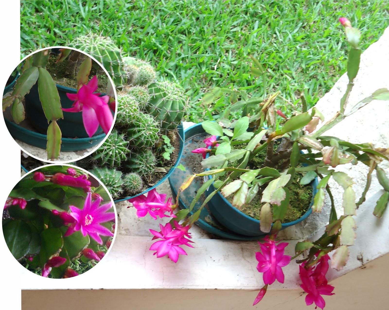 Tutuna mituna flor de mayo santa teresita for Santa teresita planta