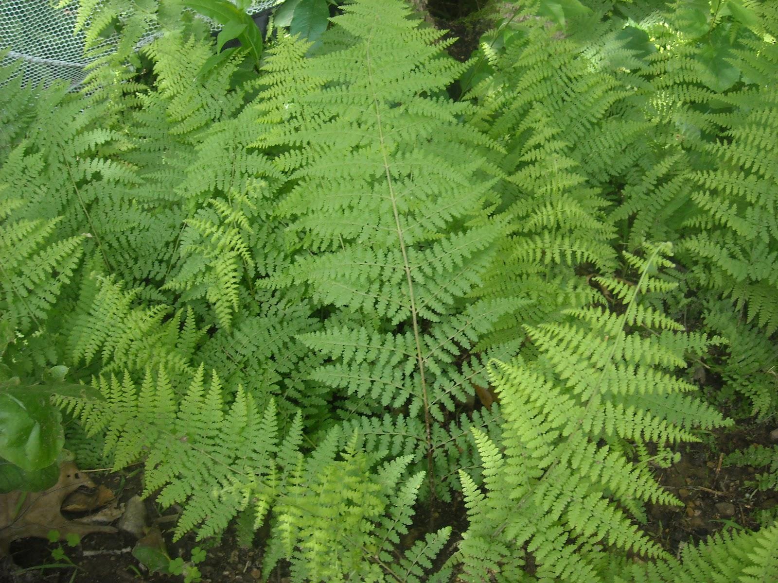WHS AP Bio 2012: Lu: Nonvascular plant