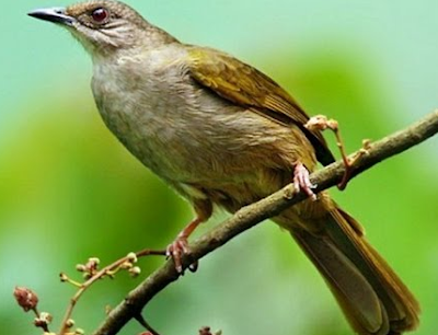 Free Download Mp3 Suara Burung Kapas Tembak Gacor Nembak Durasi Panjang