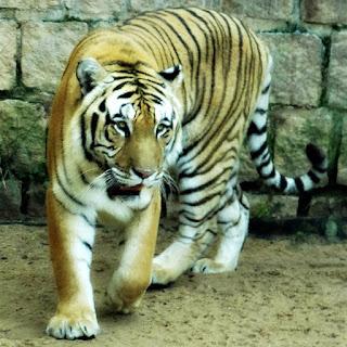 Tigre-de-bengala do Parque Zoológico de Sapucaia