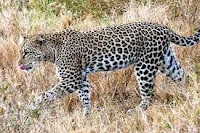 Wildlife, Leopard, killing, India