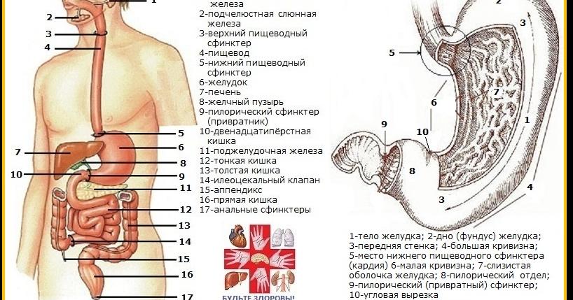 Желудочный тракт в картинках