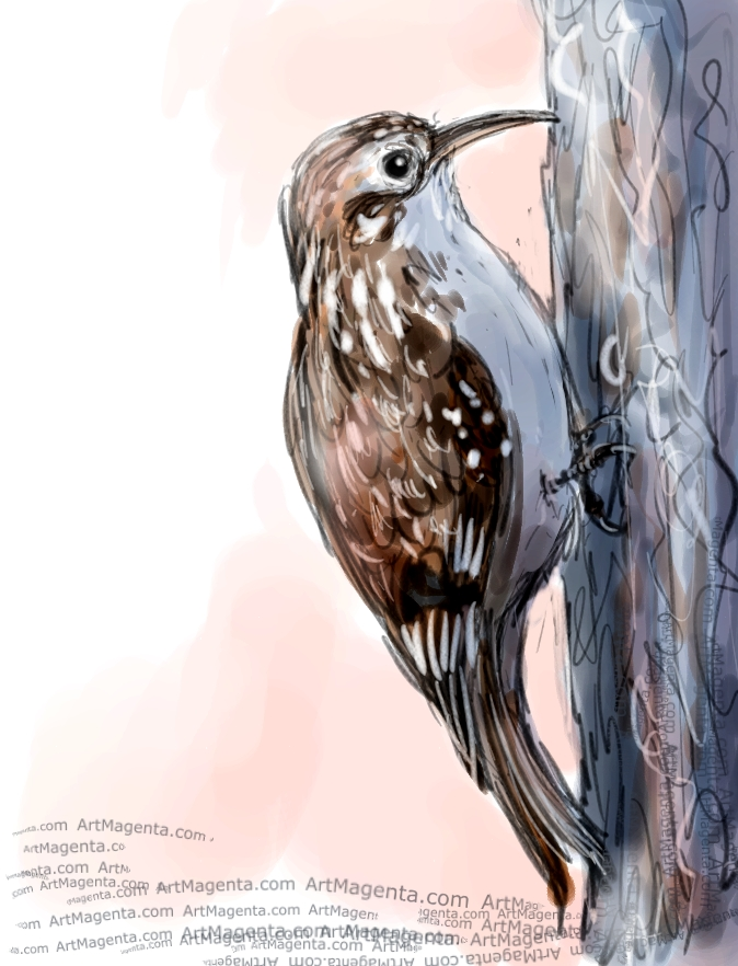 Brown Creeper sketch painting. Bird art drawing by illustrator Artmagenta