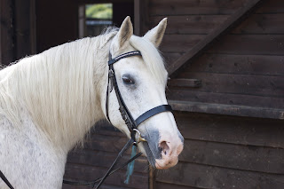 Grey horse with bridle and saddle on standing at the stables after a ride