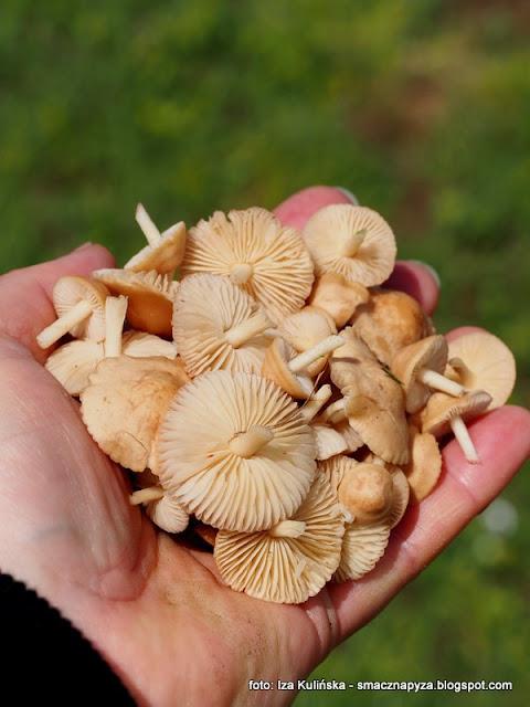 twardzioszki przydrozne, przydrozki, grzyby jadalne, grzyby na lace, zbieram grzyby, grzybnieta, jaki to grzyb