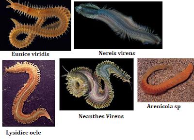 klassifikasi filum aschelminthes)