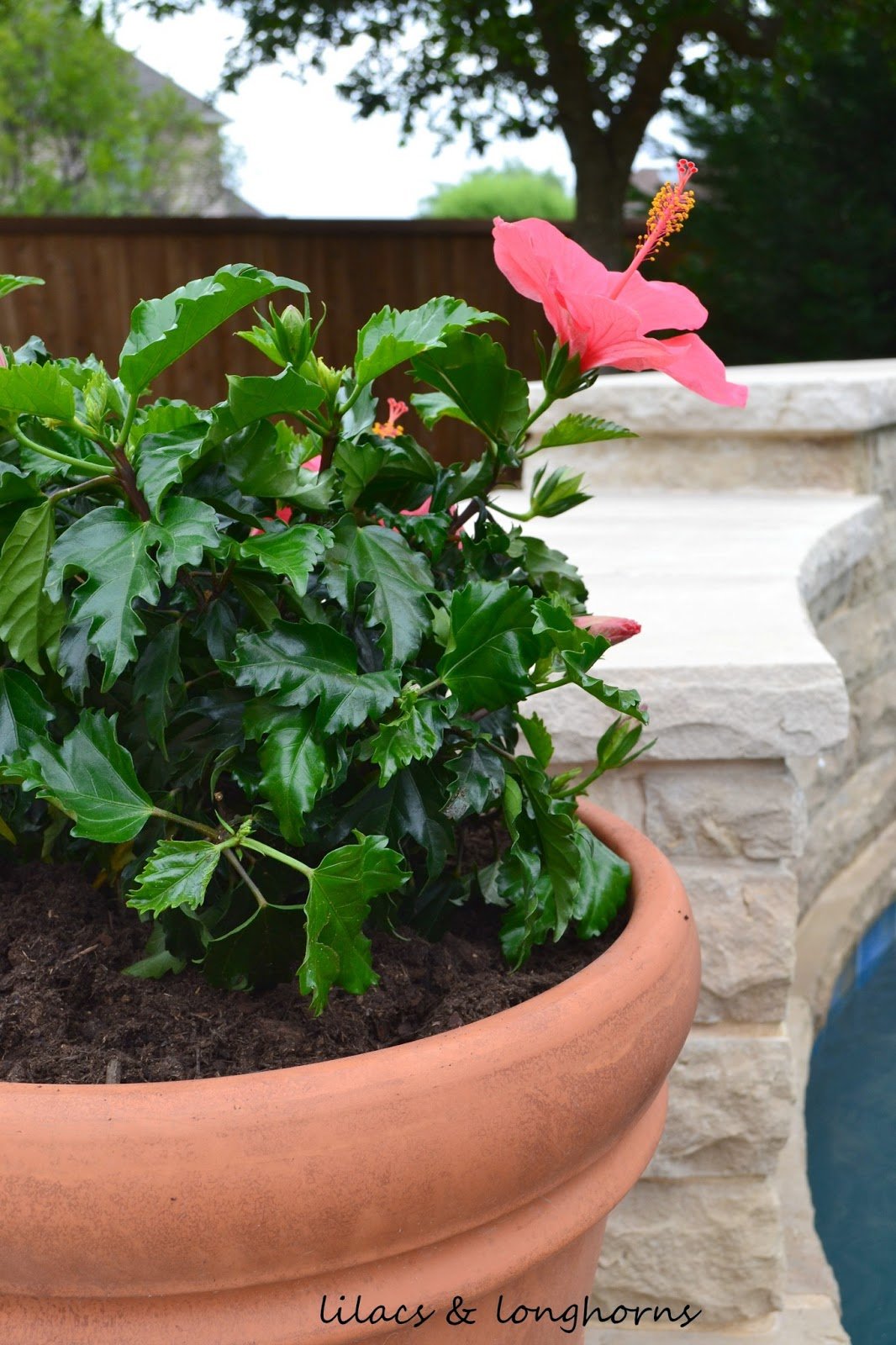 How To Plant In Large Pots Without Spending A Fortune Lilacs And