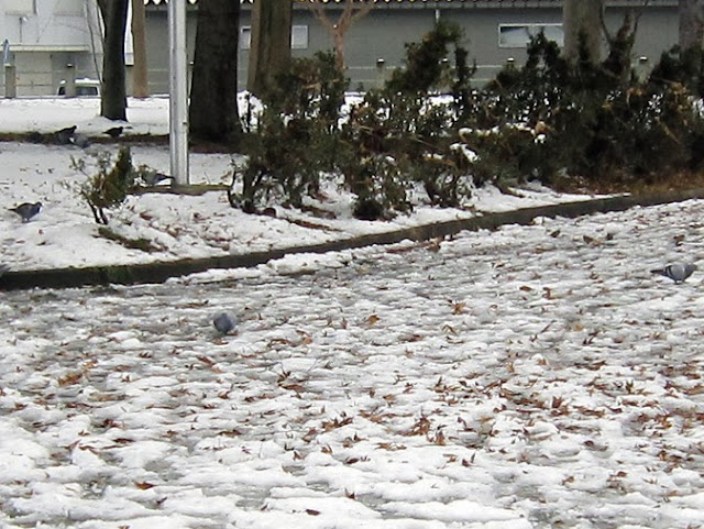 雪の上のスズメやハト