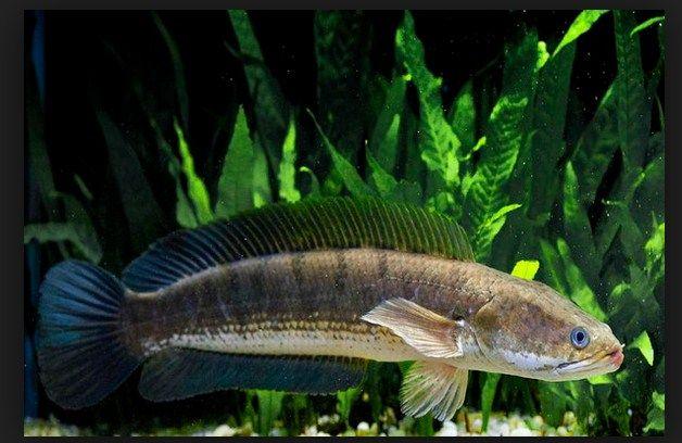 Resep Masak ikan Gabus penyembuh setelah operasi