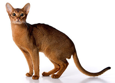 gato-absinio-raza-caracteristicas