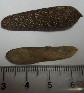 Palo rosa Aspidosperma polyneuron