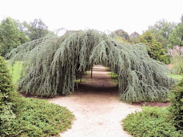 Weeping Blue Atlas Cedar Arch Planting Fields Arboretum State Historic Park