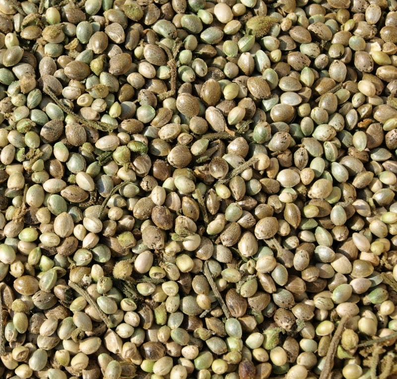 An image of hemp seed with the shell (hulled)