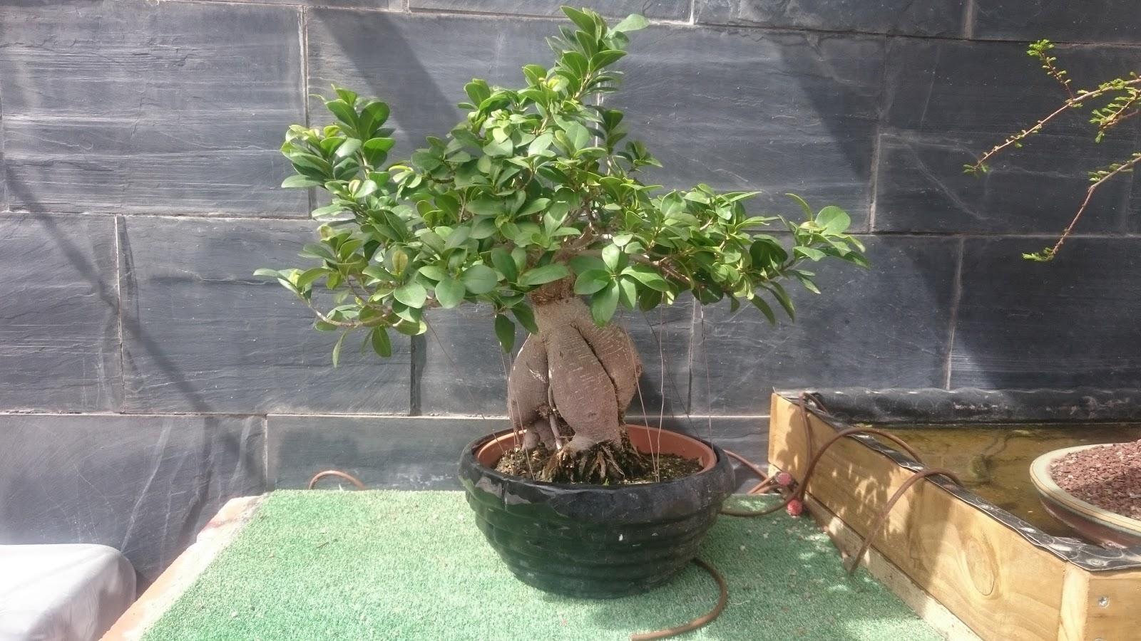 EXPRSION BONSI Ficus Ginseng