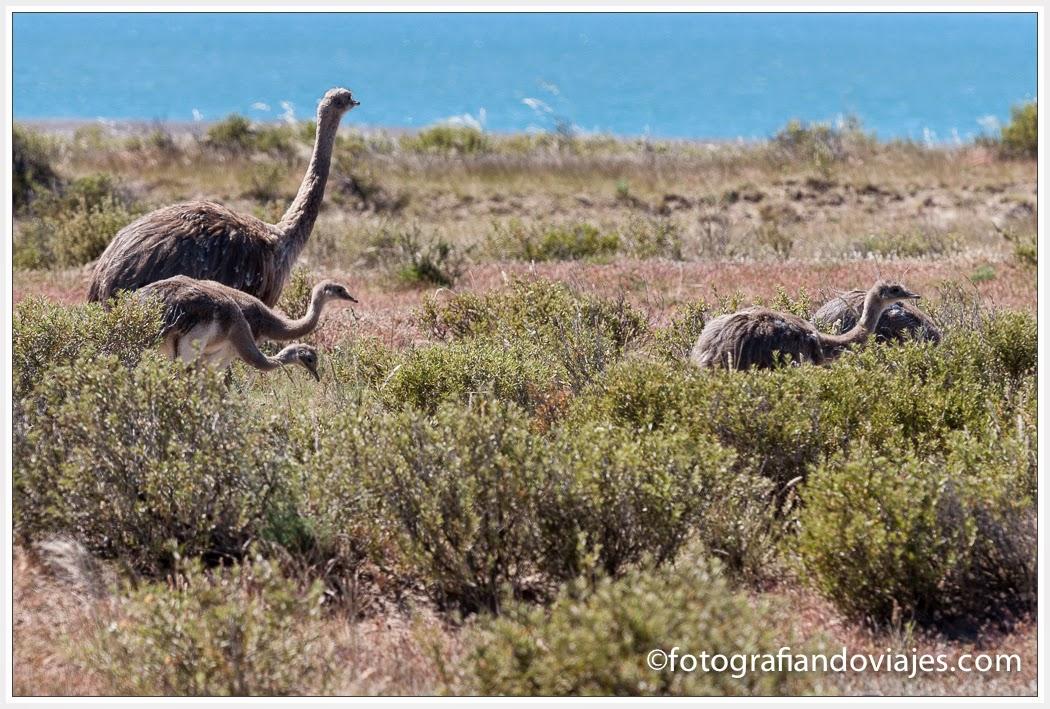 Choique con sus crías en Península Valdes (Argentina)