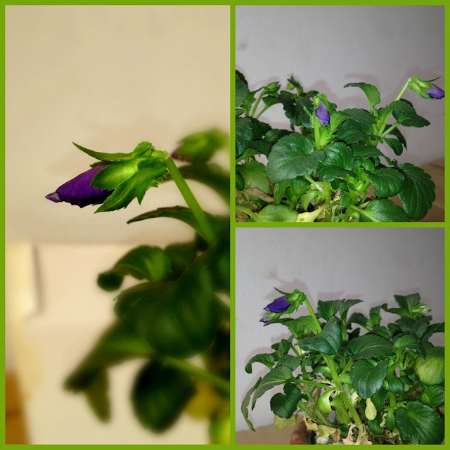 Violet flowers and green flower bud