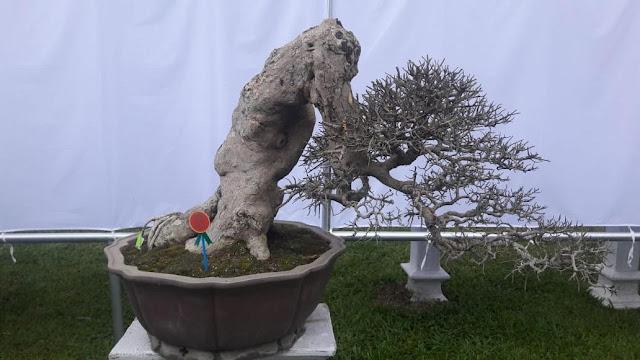 Gambar Tinggi Bonsai