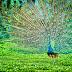 Cresterea puilor de păuni în sistem gospodăresc, o afacere dar și o pasiune răplătită cu frumusețe