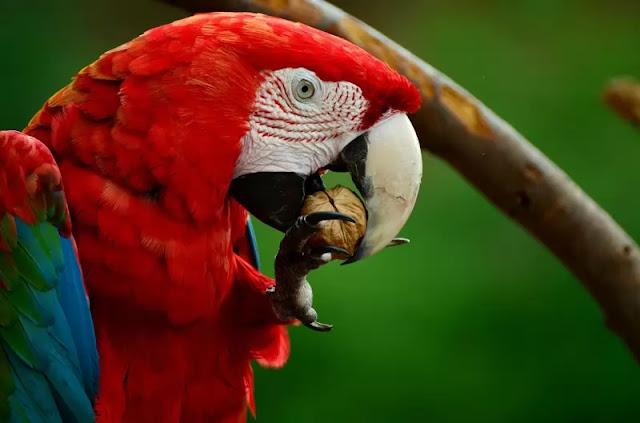 Scarlet-Macaw-HD-Wallpaper