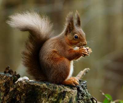 facts about Squirrel