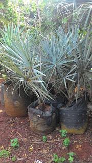 Gambar pohon bismarkia silver harga murah