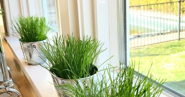 How To Grow Grass Indoors Exquisitely Unremarkable