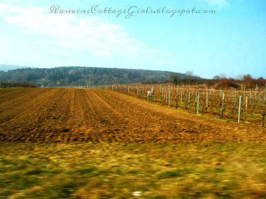 Vineyards in Weisenheim am Berg - Germany